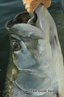 Tarpon in Pamlico Sound